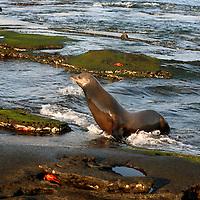 South America, Ecuador, Galapagos Islands, Santiago Island, James Island, Port Egas. A Sea Lion ponders the tidepools at Santiago Island.