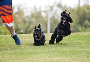 A boy (left) runs in a park with a Scottish Terrier (centre) and a black miniature poodle (right)