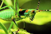 Face of unidentified grasshopper.