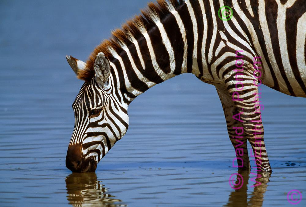 Close-up profile of zebra drinking from lake, Ngorongoro Crater. © David A. Ponton