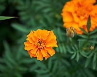 Marigold Flower. Image taken with a Leica SL2 camera and Sigma 70 mm f/2.8 macro lens