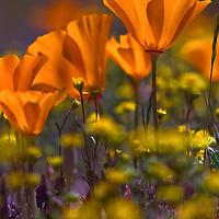 back light of wild poppies in field