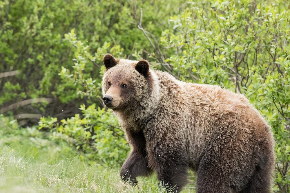 Grizzly bear cub, Jasper National Park, Alberta, Canada