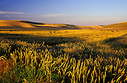 Image of cattle grazing in the Palouse, eastern Washington, Pacific Northwest by Randy Wells