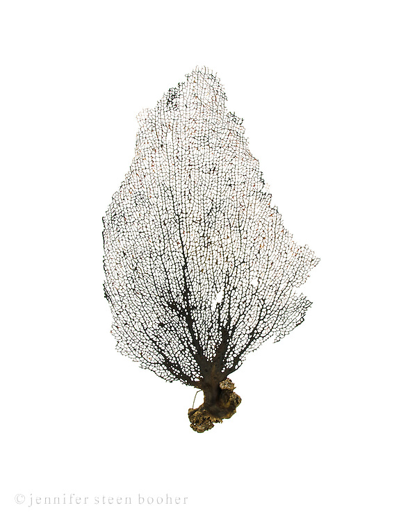 A black sea fan or fan coral from the island of Salt Cay, Turks and Caicos.