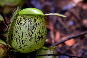 Ground pitcher from Nepenthes ampullaria in Kubah National Park, Sarawak, Borneo.