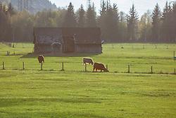 THEMENBILD - Schottische Hochlandrinder auf einer Weide vor einem Stall, aufgenommen am 22. April 2018, Kaprun, Österreich // Scottish Highland cattle on 2018/04/22, Ort, Austria. EXPA Pictures © 2018, PhotoCredit: EXPA/ Stefanie Oberhauser