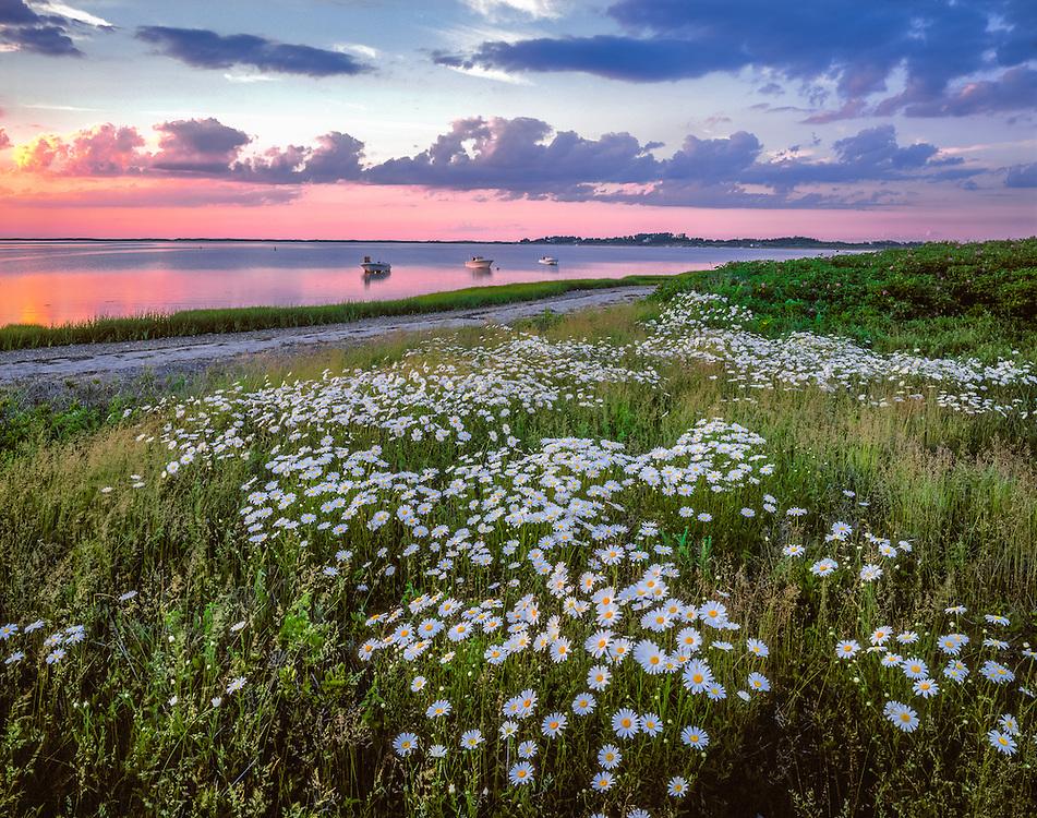 Daisies along shore & 3 Boats, Madaket Harbor at dusk, Nantucket Island, MA