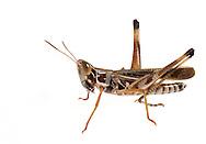 Admirable Grasshopper (male) (Syrbula admirabilis)