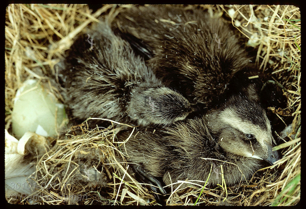 Three newly-hatched eider ducklings huddle together in nest on Vigur Island in June. Iceland