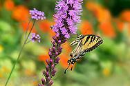 Eastern Tiger Swallowtail On Blazingstar, Papilio glaucus Linnaeus