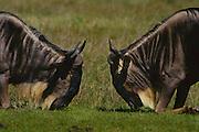 Wildebeest fighting for territory and female harem, Serengeti National Park, Tanzania.