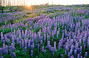 Wasilla . Field of lupine flowers with sunset in distance.