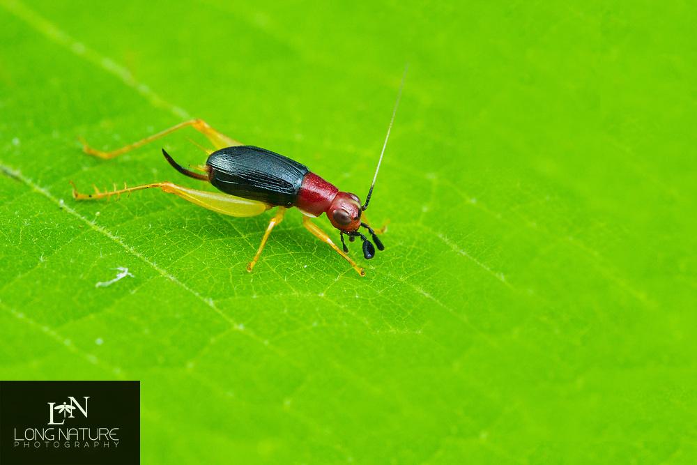 Phyllopalpus pulchellus - Red-headed Bush Cricket
