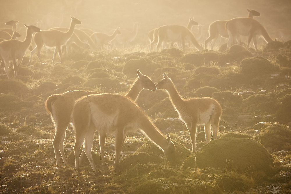 A mother and baby guanco touch noses in the fog of Torres del Paine National Park, Chile
