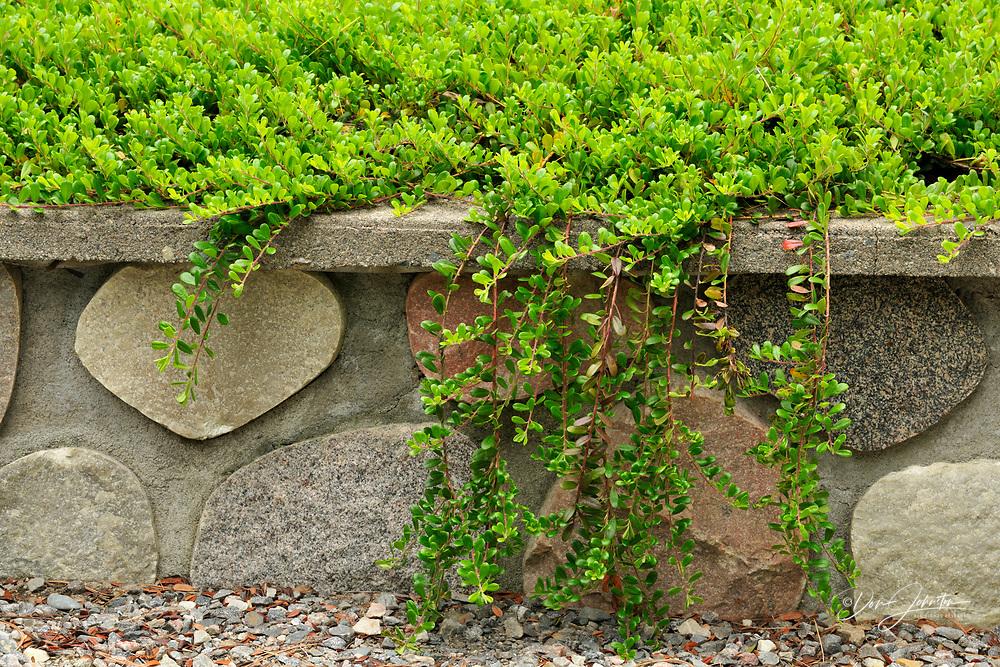 Bearberry shrub overhanging stone wall, Greater Sudbury, Ontario, Canada