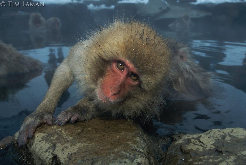 A Japanese macaque (Macaca fuscata) climbing out of a hot spring onto a rock.