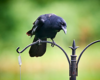 American Crow. Image taken with a Nikon D850 camera and 200 mm f/2 VR lens