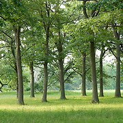 Grove of oak trees at Appleton Farms & Grass Rides, Ipswich, MA