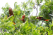 A group of Scarlet Macaws (Ara macao cyanoptera) forage and squabble along the banks of the Raspacullo river, Belize.