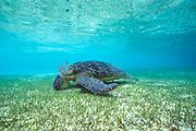 green sea turtle, Chelonia mydas ( Endangered Species ), feeding on seagrass, Sipadan, Sabah, Borneo, Malaysia ( Celebes Sea, Western Pacific Ocean )