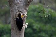 Wreathed hornbill, Rhyticeros undulatus, Tongbiguan Nature Reserve, Dehong, Yunnan, China