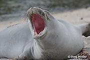 Hawaiian monk seal, Monachus schauinslandi ( Critically Endangered ), 2.5 year old male yawning and growling, Pu'uhonua o Honaunau ( City of Refuge ) National Historical Park, Kona, Hawaii ( the Big Island ), 036945