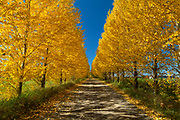 Trees, Alley, Yellow leaves, Blue sky, Shadow and light, Yellow, Blue