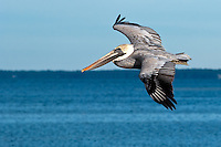 A Florida favorite! A brown pelican in winter plumage flying over Eagle Harbor on the St. Joseph Peninsula on the Gulf Coast.