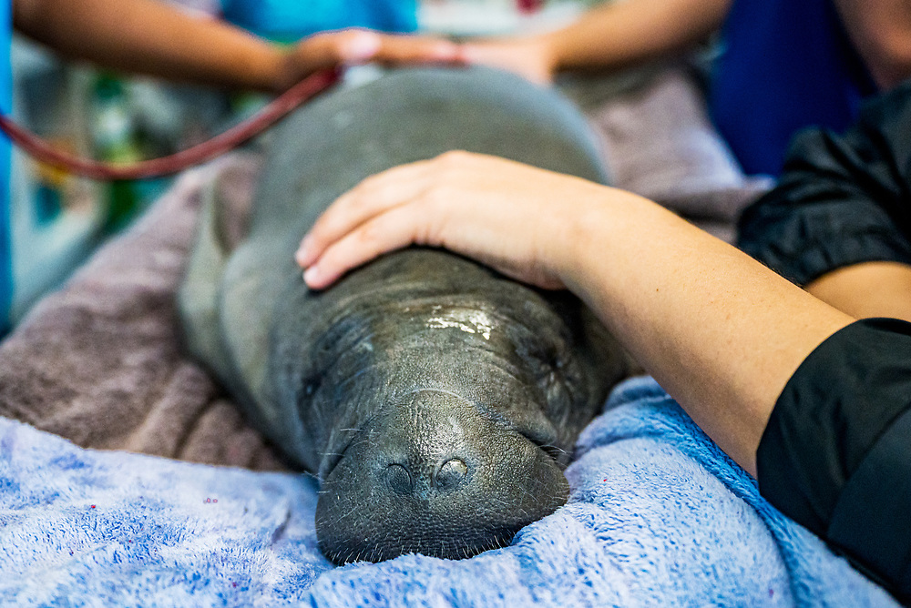Scientists and veterenarians treat an abandoned manatee calf at the Manatee Conservation Center in Puerto Rico.