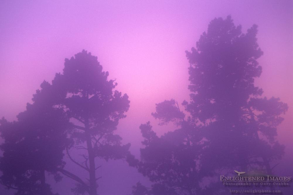 Fog at sunset envelops pine trees, Berkeley Hills, California