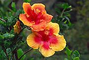 Hibiscus<br />