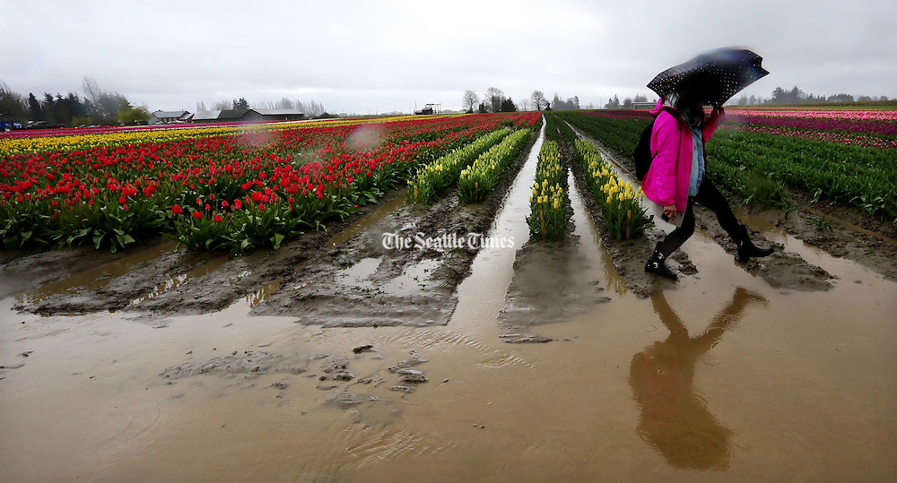 A woman carefully steps across the ends of the rows of tulips to avoid muddy troughs of water on the first weekend of spring in Skagit Valley. <br /> <br /> Alan Berner / The Seattle Times