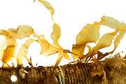 Sea-farmers are growing the brown algae (Saccharina latissima) on ropes. Later the algae on the rope (Company: Oceanwell, oceanBASIS GmbH, 24159 Kiel, Germany) | In der Kieler Algenfarm läßt man den Zuckertang (Saccharina latissima) auf einem Seil im Labor ansiedeln. Sitzen die Algen fest werden die Seile in der Kieler Förde ausgebracht. Nach einem Jahr, wenn die Algen groß genug sind werden sie geerntet und für extraktionen vorbereitet.