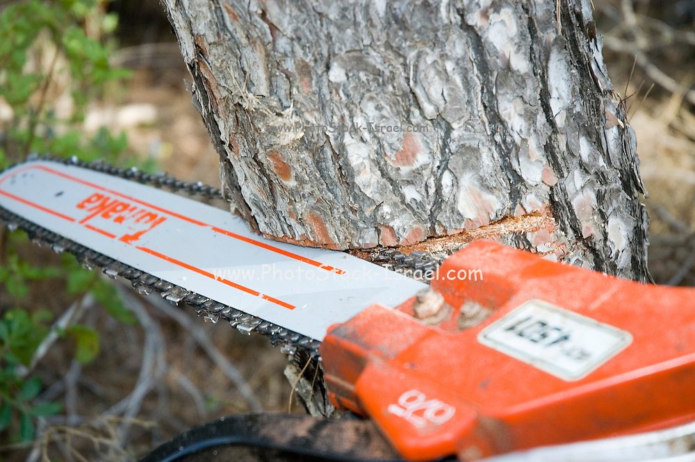 Israel, Galilee, Biria forest, Foresters working in a pine forest, cutting down trees to to thin out the forest