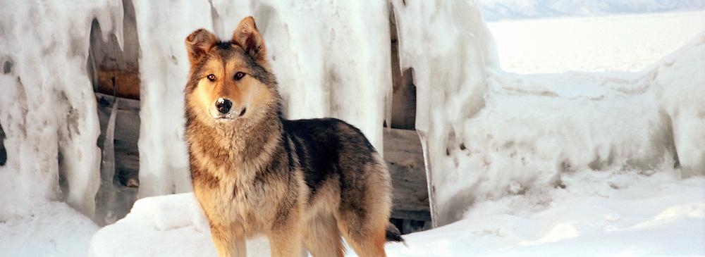 Portrait of a dog, Olkhon Island, Siberia, Russia