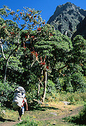 A porter carries a heavy load on the Inca Trail, Cordillera Vilcabamba, Andes mountains, Peru, South America.