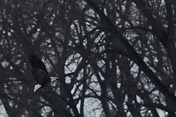 11 February 2017:   Bald Eagles (Haliaeetus leucocephalus) fly near the bank of the Illinois River at Starved Rock State Park in Illinois