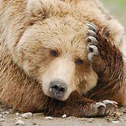 Alaskan brown bear (Ursus middendorffi) resting. Katmai National Park & Preserve, Alaska.