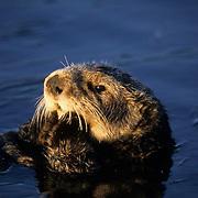 Sea Otter, (Enhydra lutris) Female grooming in Monterey Bay, California.