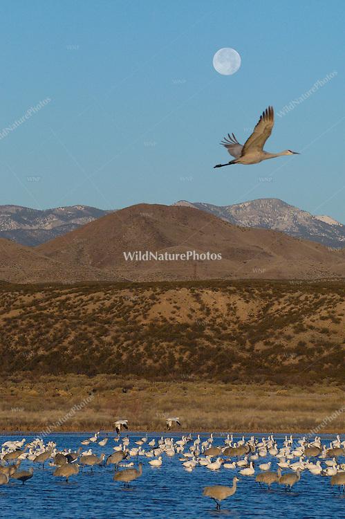 A Sandhill Crane and a Full Moon over Bosque del Apache