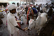 A pilgrim feeds a sacred cow in the street left over chapattis. Every 12 years, millions of devout Hindus celebrate the month-long festival of Kumbh Mela by bathing in the holy waters of the Ganges at Hardiwar, India. Hundreds of ashrams set up dusty, sprawling camps that stretch for miles. Under the watchful eye of police and lifeguards, the faithful throng to bathe in the river.