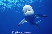 silky shark, Carcharhinus falciformis, off New Providence Island, Bahamas ( Western Atlantic Ocean )