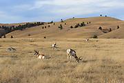A herd of Pronghorns (Antelope)  graze and rest in short-grass prairie habitat.
