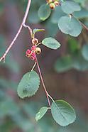 Serviceberries/Saskatoons