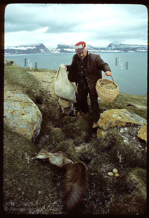Baldur Bjarnason, farmer on Vigur Island, approaches nest to harvest down as duck flees; June Iceland