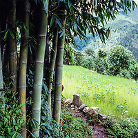 A bamboo grove borders irrigation canals in the Sou Khumbu region of Nepal. 1980