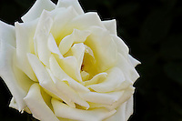 Detail of White Rose