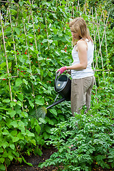 Watering runner beans wiith a watering can. Phaseolus coccineus