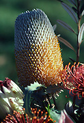 Protea Flower, Maui, Hawaii, USA<br />